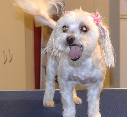 Roxy is a Maltese. She had her fur clipped short, nails clipped, ears and eyes cleaned and a wash n blow dry.Pampered by Kylies Cat Grooming Services also all size dogs.