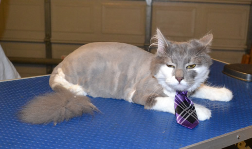 Misty is a male Long hair domestic. He had his fur clipped, ears cleaned nails clipped and just a wash and toweled dried after this pic.  Pampered by Kylies Cat Grooming Services also all size dogs.