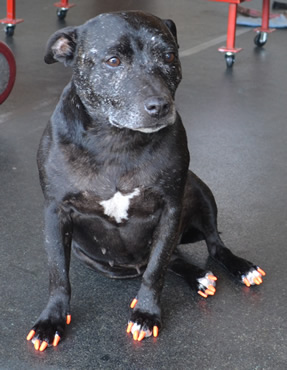 Staff is an English Staffy. She had her nails clipped, Full set of Orange Softpaws put on, ears cleaned, her fur raked and a wash n blow dry. She was such a good girl.    Pampered by  Kylies Cat Grooming Services also all size dogs.