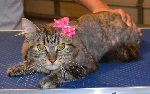Milu is a medium hair Tabby. She had her Fur shaved, nails clipped, ears cleaned and a wash n blow dry.  Pampered by Kylies Cat Grooming Services also all size dogs.