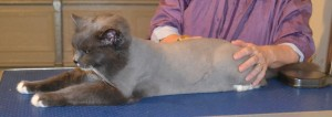 Puss is a Long Hair Russian Blue. She had her fur shaved down, nails clipped and ears cleaned.Pampered by Kylies Cat Grooming Services also all size dogs.