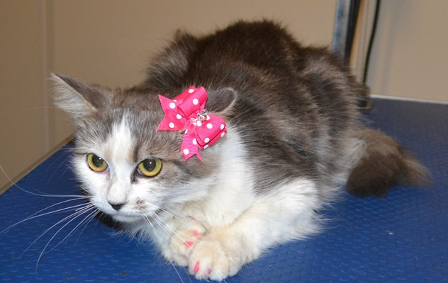 Aalyah is a Medium Hair Domestic. She came in for a full set of Baby Pink Softpaw nail caps.  Pampered by Kylies Cat Grooming Services also all size dogs.