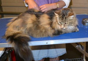 Snookums is a Mainecoon. She had her fur shaved down and nails clipped. She got me good. A good hard bite on my Thumb. Ouchies!! Pampered by Kylies Cat Grooming Services also all size dogs.