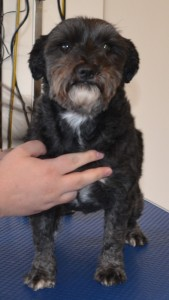 Panda is a Miniature Schnauzer x. She had her fur shaved down short, nails clipped and ears and eyes cleaned. Pampered by Kylies Cat Grooming services Also All Size Dogs.