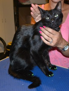 Kato is a Short hair Domestic. He is wearing a full set of Green Softpaw nail caps. Pampered by Kylies Cat Grooming Services also all size dogs.