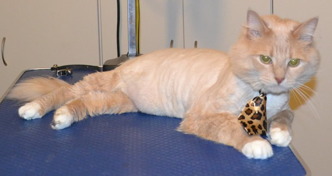 Emmy is a Medium hair Domestic. He had his fur shaved down, nails clipped, ears cleaned and a wash n blow dry. Pampered by Kylies Cat Grooming Services also all size dogs.