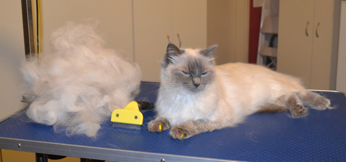 Skittles is a Ragdoll. He had his fur raked, ears cleaned, nails clipped, a wash n blow dry and Multicolored Softpaw nail caps. Pampered by Kylies Cat Grooming Services