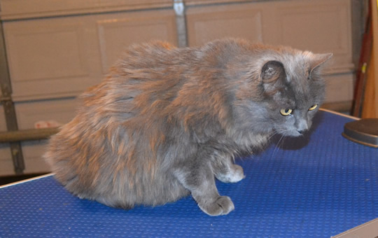Fluffy is a medium hair Domestic. She had her fur shaved down, nails clipped and ears cleaned. Pampered by Kylies Cat Grooming Services also all size dogs.