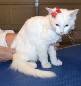 Crumpet is a 14 week old Long hair Domestic. She had her nails clipped, bum shaved, ears cleaned and a wash n blow dry. Pampered by Kylies Cat Grooming Services also all size dogs.