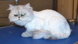 Charlie is a Persian Chinchilla. He had his matted fur shaved off, nails clipped, ears cleaned and a wash n blow dry. Pampered by Kylies Cat Grooming Services Also All Size Dogs.