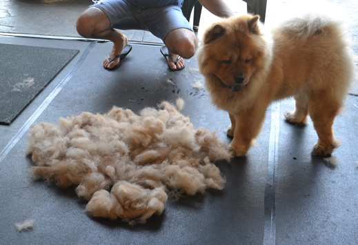 Booboo is a Chow Chow. He had a 4 hour groom. He had his fur raked, a wash n blow dry, legs scissor cut, a long clip all over except his head and his ears cleaned. Pampered by Kylies Cat Grooming Services also all size dogs.