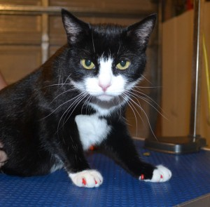 Angelina is a Short hair Domestic who came in for some Red Softpaw nail caps. Pampered by Kylies Cat Grooming Services also all size dogs.