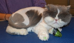 Frankie is a Persian. He had his fur shaved down, nails clipped, ears and eyes cleaned, a wash n blow dry and green Softpaw nail caps. Pampered by Kylies Cat Grooming Services also all size dogs.