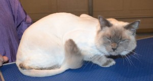 Luka is a Ragdoll. He had his matted fur shaved down, nails clipped, ears cleaned and a wash n blow dry. Pampered by Kylies Cat Grooming Services also all size dogs.