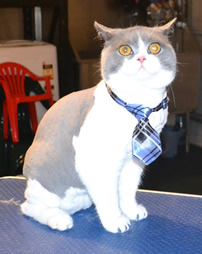 Axel is a British Short Hair. He had his nails clipped, fur shaved and ears cleaned. He came in with some nice Blue Softpaw nail caps. Pampered by Kylies Cat Grooming Services also all size dogs.