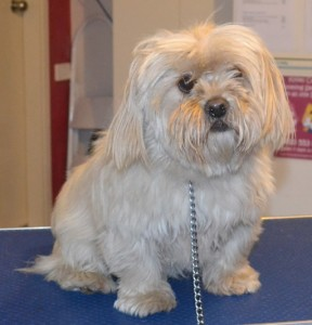Eve is a Maltese x Tibetan Spaniel. She had her fur clipped short, nails clipped, ears and eyes cleaned, and a wash n blow dry. Pampered by Kylies Cat Grooming Services also all size dogs.