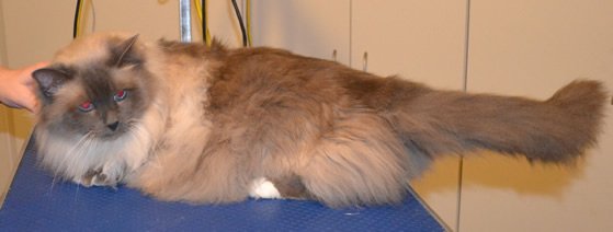 Bucky is a Great Big Birman. He had his fur shaved, nails clipped, ears cleaned and a full set of Glitter Purple Softpaw nail caps.  Pampered by Kylies Cat Grooming Services also all size dogs.
