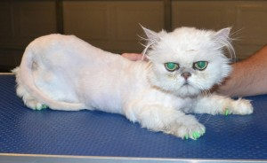Caeser is a Persian Chinchilla. He had his matted fur shaved down, nails clipped, ears and eyes cleaned, a wash n blow dry and a full set of Green Softpaw nail caps. Pampered by Kylies Cat Grooming services Also All Size Dogs.