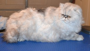 Lewis is a Female Persian Chinchilla. She had her fur shaved down, nails clipped and ears and eyes cleaned. Pampered by Kylies Cat Grooming services Also All Size Dogs.