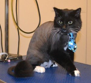 Boo is a Medium Hair Domestic. He had his fur shaved down, nails clipped, ears cleaned and Glitter Blue Softpaw nail caps. Pampered by Kylies Cat Grooming Services also all size dogs.