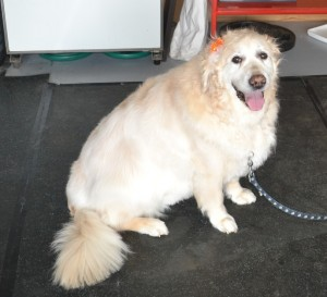 Bridie is a 12 year old Golden Retriever. She had her fur raked, wash n blow dry, nails clipped ears cleaned and fur clipped in certain places to make her hair more manageable. Pampered by Kylies Cat Grooming Services also all size dogs.