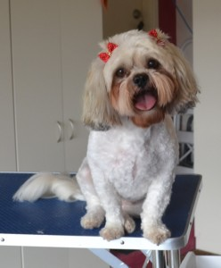 Lilly is a Maltese x Shih Tzu. She had her fur clipped short, nails clipped, ears and eyes cleaned and a wash n blow dry. Pampered by Kylies Cat Grooming Services also all size dogs.