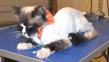 Taj is a Ragdoll. He had his matted fur shaved out, nails clipped, ears cleaned and a wash n blow dry. Pampered by Kylies Cat Grooming Services also all size dogs.
