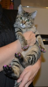 Matilda is a 4 month old Short hair Domestic. She came in for a full set of Purple Softpaw nail caps.(Kitten Size) Pampered by at Kylies Cat Grooming Services also all size dogs.