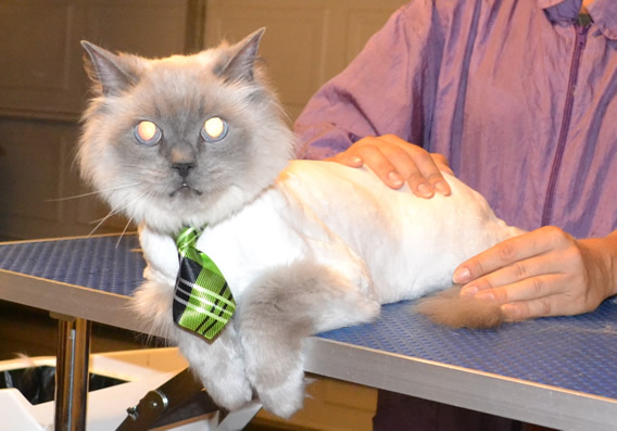 Karma is a 12 yr old Ragdoll. He had his matted fur shaved down, nails clipped and ears cleaned. Pampered by Kylies Cat Grooming Services also all size dogs.