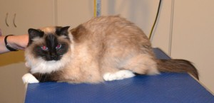 Frankie is a Ragdoll. He had his fur shaved down, nails clipped and ears cleaned. Pampered by at Kylies Cat Grooming Services also all size dogs.
