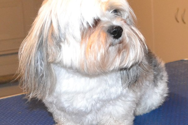Oscar is a Maltese x Shih Tzu. He had a wash n blow dry, his fur clipped down, nails clipped and ears cleaned. Pampered by Kylies Cat Grooming Services also all size dogs.