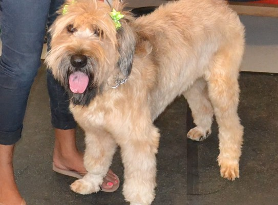 Lilo is a French Briard. She had a her fur raked, wash n blow dry, ears cleaned and her face, legs and tail clipped. Pampered by Kylies Cat Grooming Services also all size dogs.