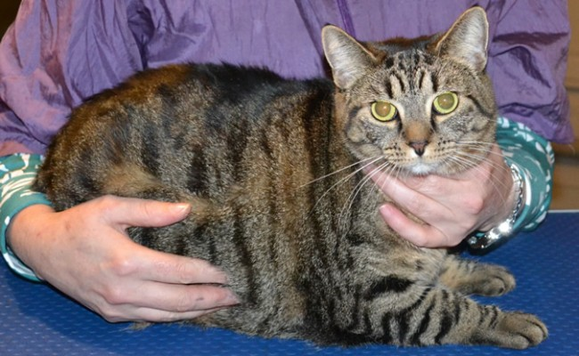 Lottie is a Short Hair Tabby. She had her nails clipped, fur shaved, ears cleaned and a wash n blow dry. Pampered by Kylies Cat Grooming Services also all size dogs.