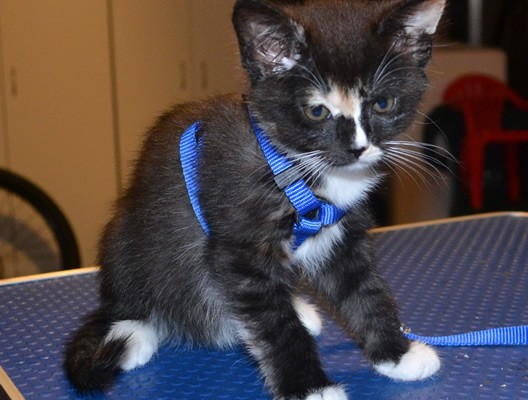 Lilly is a 9 week old Medium Hair Kitten. She had her nails clipped, ears cleaned and bottom clipped.  Isn't she cute in her little walking harness! Pampered by Kylies Cat Grooming Services also all size dogs.