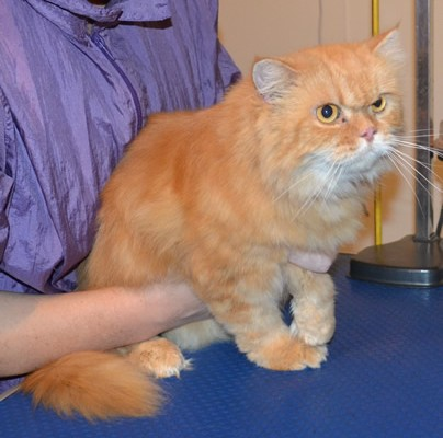 Huxley is a Persian. He had his fur shaved down, nails clipped, ears and eyes cleaned and a wash n blow dry. Pampered by Kylies Cat Grooming Services also all size dogs.