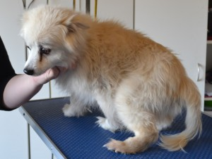 Jack is a 15 yr old Pomeranian X. He had his fur clipped, ears and eyes cleaned and a wash n blow dry. Pampered by Kylies Cat Grooming Services also all size dogs.