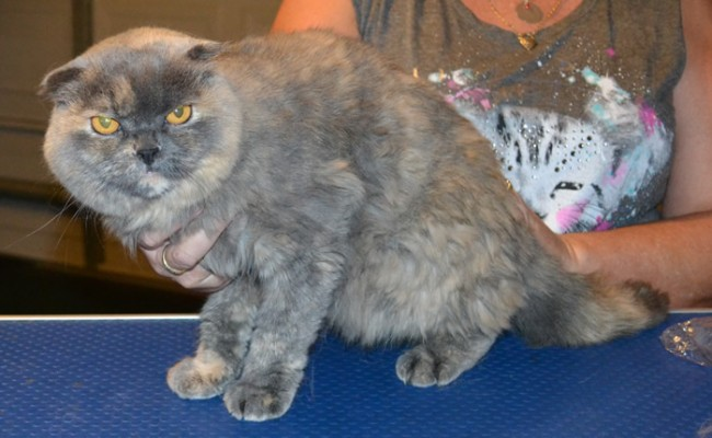 Bonnee is a Scottish Fold. She had her very thick fur shaved down, nails clipped and ears cleaned. Pampered by Kylies Cat Grooming Services also all size dogs.