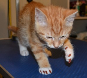 Alfie is a 13 week old Ragdoll x Orange Tabby. He came in for some Brown kitten size Softpaw nail caps. Pampered by Kylies Cat Grooming Services also all size dogs.