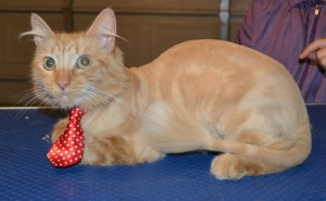 Garfield is a Long hair Domestic. He has his fur shaved down, nails clipped, ears cleaned and a wash n blow dry. Pampered by Kylies Cat Grooming Services also all size dogs.