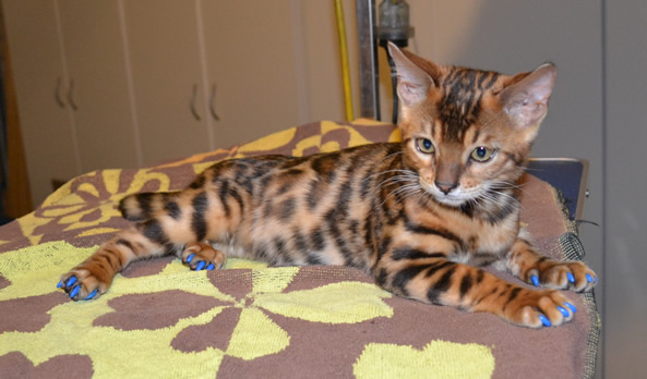 Syrus is a 14 week old Bengal kitten.  He had his nails clipped and a full set of Blue Softpaw nail caps(Kitten size).  Pampered by Kylies cat Grooming Services Also All Size Dogs.
