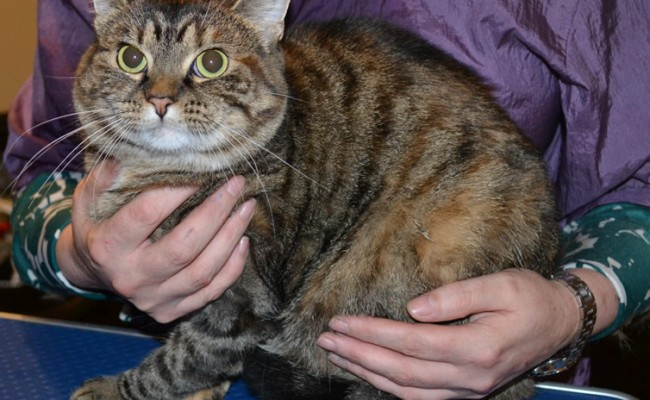 Lizzy is a Medium Hair Tabby. She had her nails clipped, fur shaved and her ears cleaned. Pampered by Kylies Cat Grooming Services also all size dogs.