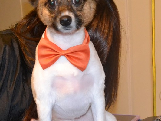 Qru Qru is a Chihuahua x Papillion) He has his fur clipped short, nails clipped, ears cleaned and a wash n blow dry. Pampered by Kylies Cat Grooming Services also all size dogs.