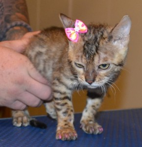 Boston is a 14 week Bengal Kitten. She had a wash n blow dry, her nails clipped, ears cleaned and some Glitter Pink Softpaw Nail caps. Pampered by Kylies Cat Grooming Services also all size dogs.