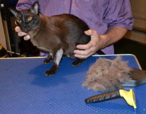 Patch is a Burmese. She had her nails clipped, fur racked, ears cleaned and a wash n blow dry. Patch has a licking problem where she will lick all her fur off causing patches. Hence the name Patch Pampered by Kylies Cat Grooming Services also all size dogs.