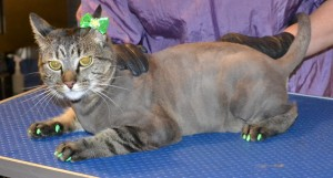 Fern is a Short hair Domestic. She had her fur shaved, nails clipped, ears cleaned and a full set of Green Softpaw nail caps. Pampered by Kylies Cat Grooming Services also all size dogs.