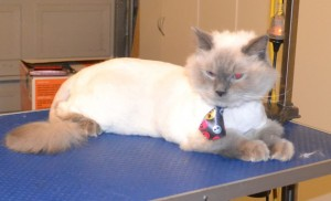 Steve is a 15 month old Ragdoll. He had his matted fur shaved off, nails clipped, ears cleaned and a wash n blow dry. Pampered by Kylies Cat Grooming Services also all size dogs.