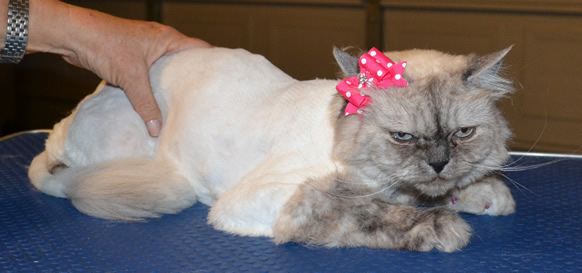 Millie is a Ragdoll. She had her fur shaved down, nails clipped, ears and eyes cleaned, a wash n blow dry and Glitter Pink Softpaw nail caps. Pampered by Kylies Cat Grooming Services also all size dogs.