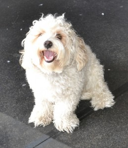 Bondi is a Cavoodle. He has his fur clipped short, nails clipped, ears and eyes cleaned and a wash n blow dry. Pampered by Kylies Cat Grooming Services also all size dogs.