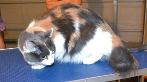 Peggy is a Medium Hair Domestic. She had her fur shaved down, nails clipped and ears cleaned. Peggy sang at the top of her lungs. Such beautiful vocals she has. Pampered by Kylies Cat Grooming Services also all size dogs.