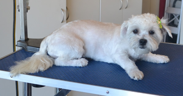 Baby Kubki is a 5 month old Maltese x Shih Tzu. She had her fur clipped short, nails clipped, ears and eyes cleaned and a wash n blow dry. Pampered by Kylies Cat Grooming Services also all size dogs.